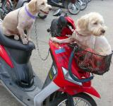 Free Photo - Dogs on a motorbike