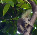 Free Photo - Thai squirrel