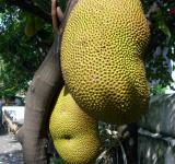 Free Photo - Jackfruit