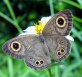 Free Photo - Common 4-ring Butterfly