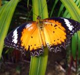 Free Photo - Orange Lacewing butterfly