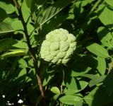 Free Photo - Custard apple - sugar apple