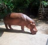 Free Photo - Hippopotamus
