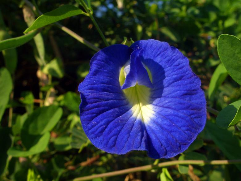 Free Stock Photo of Butterfly pea flower - Clitoria ternatea Created by Chas Mac