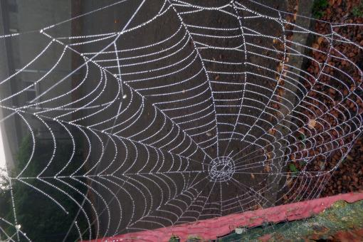Dew drops on spider