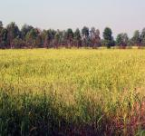 Free Photo - Thai rice field