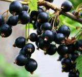 Free Photo - Black currants