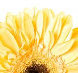 Free Photo - Yellow Gerbera