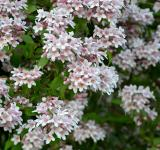 Free Photo - Linnaea amabilis
