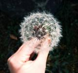 Free Photo - Silky Dandelion