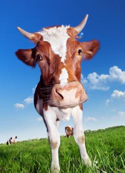 Cow with horns - Free Stock Photo