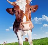Free Photo - Cow with horns