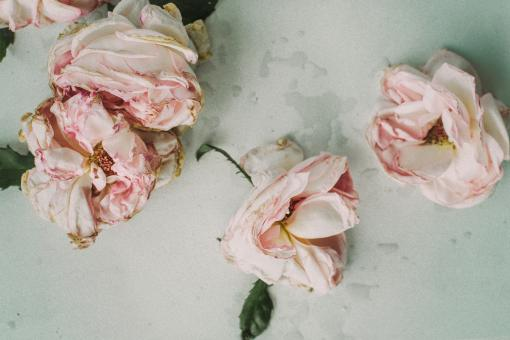 Dead Pink Roses - Free Stock Photo