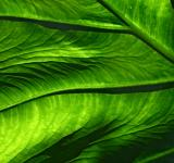 Free Photo - Green veins