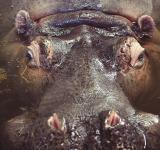 Free Photo - Hippo in the water