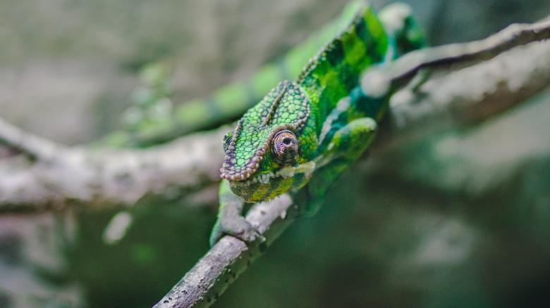 Free Stock Photo of Cameleon Created by Unsplash