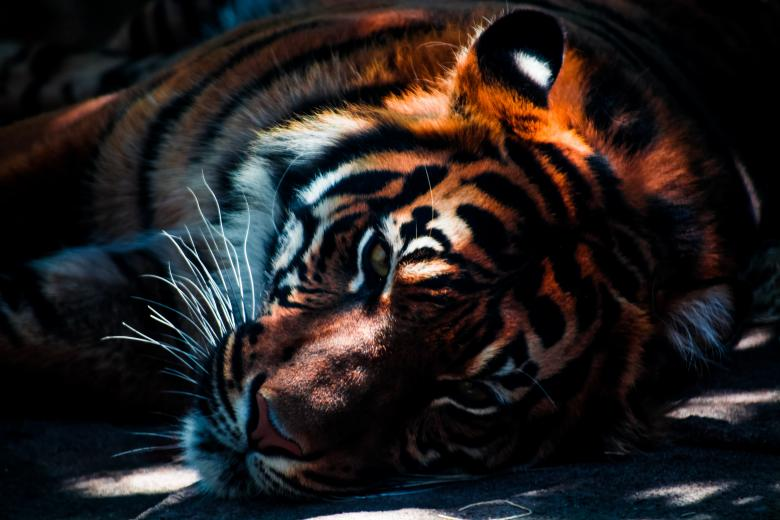 Free Stock Photo of Tiger Created by Unsplash