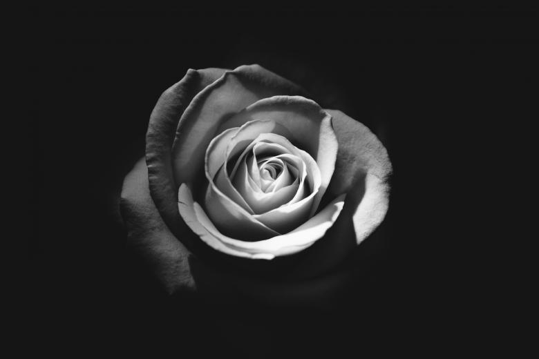 Black and white rose free stock photo