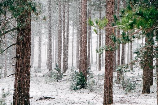 Forest In Winters - Free Stock Photo