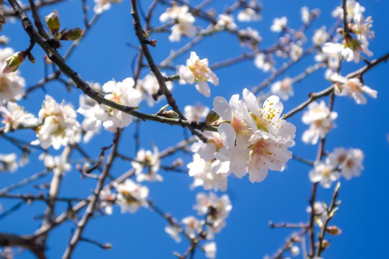 Free Stock Photo of Almond Tree Created by Life of Pix