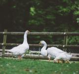 Free Photo - Four Ducks