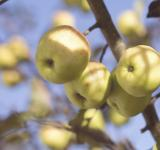 Free Photo - Fresh Apples
