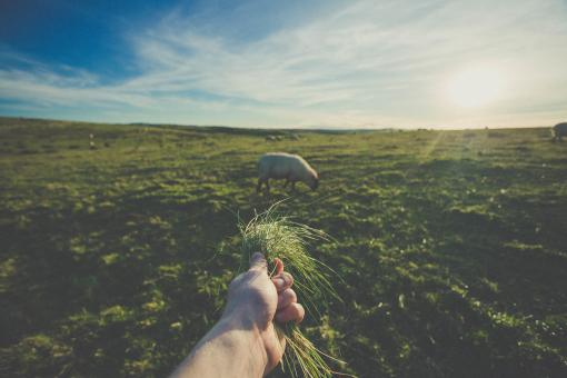 Feeding the Sheep - Free Stock Photo