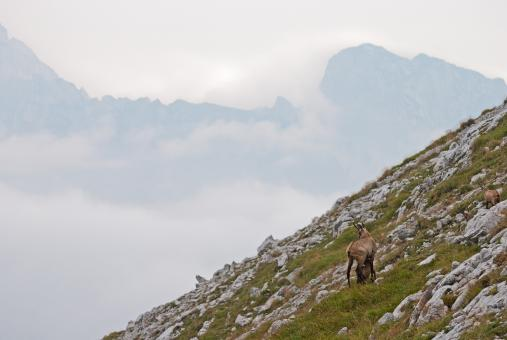 Ibex on the Mountain - Free Stock Photo