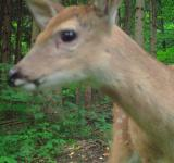 Free Photo - Doe A Deer A Female Deer