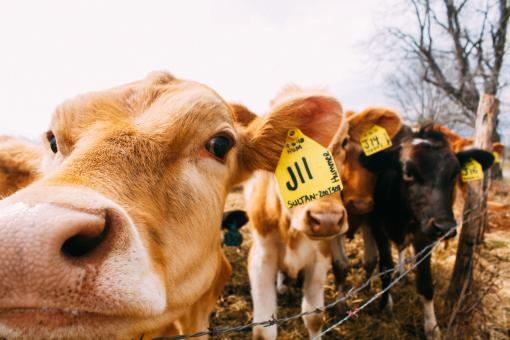 Cows - Free Stock Photo