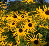 Free Photo - Yellow Sun Flowers