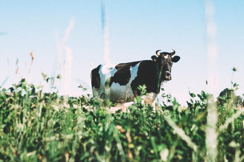 Free Stock Photo of Australian Cow Created by StockSnap