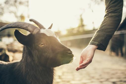 Goat - Free Stock Photo