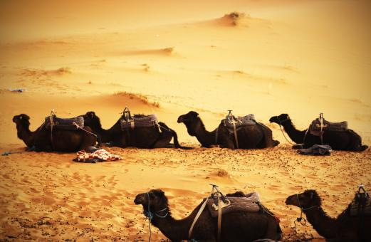 Camels in the Desert - Free Stock Photo