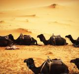 Free Photo - Camels in the Desert