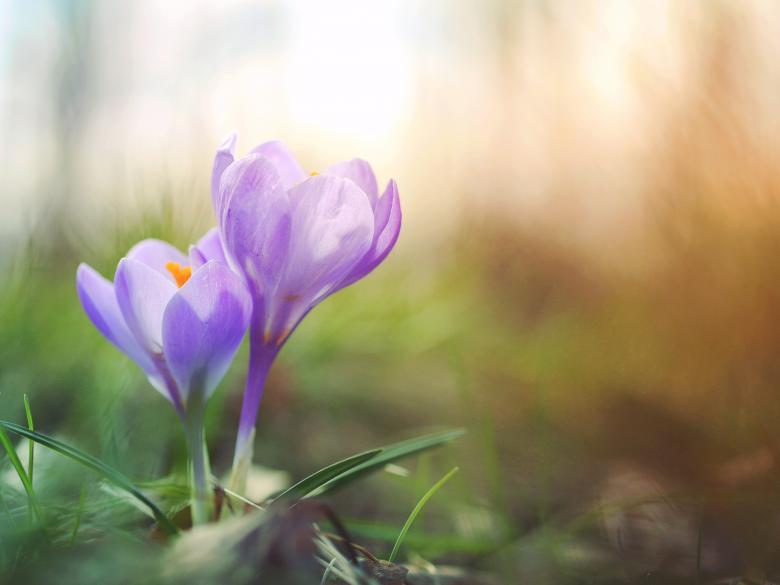 Free Stock Photo of Tulip Flower