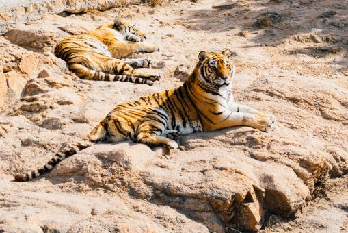 Bengal Tigers - Free Stock Photo
