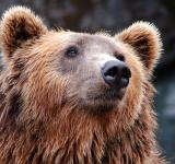 Free Photo - Grizzly Bear