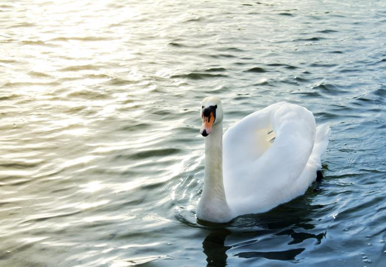 Free Stock Photo of Swan Created by Pixabay