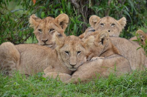 Lion Cubs - Free Stock Photo