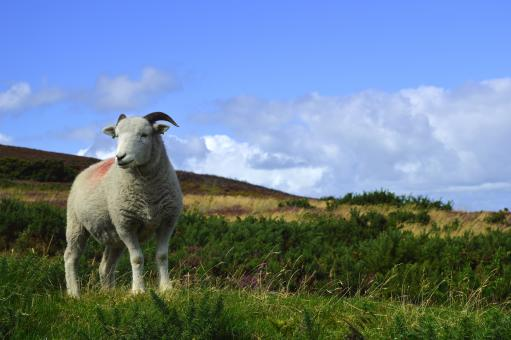 Sheep - Free Stock Photo