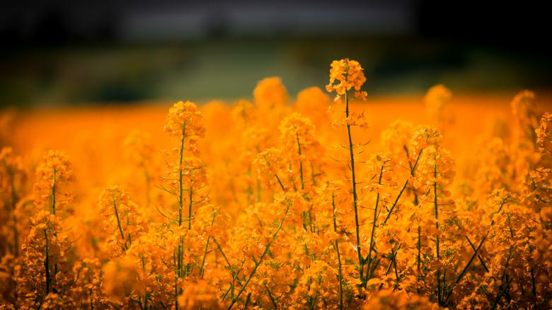 Free Stock Photo of Yellow Flower Field Created by Pixabay