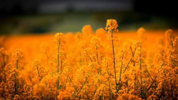 Yellow Flower Field - Free Stock Photo