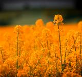 Free Photo - Yellow Flower Field