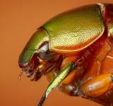 Free Photo - Beetle