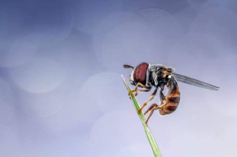 Hoverfly Free Insect Stock Photos