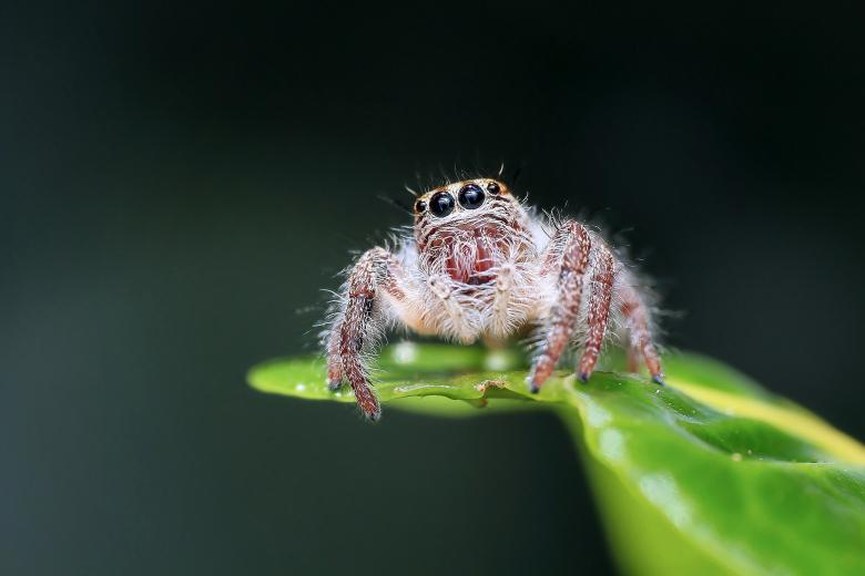 Free stock image of Jumping Spider created by Pixabay