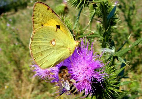 Brimstone Butterfly - Free Stock Photo
