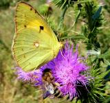 Free Photo - Brimstone Butterfly