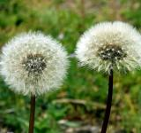 Free Photo - Dandelion